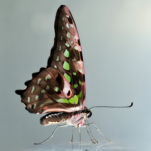 schmetterling.png